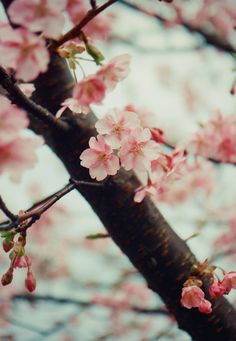 I love cherry blossoms!