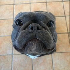 Dog Breeds Little .Dog Breeds Little French Bulldog Puppies, Cute Dogs And Puppies, Big Dogs, I Love Dogs, French Bulldogs, Doggies, Baby Bulldogs, English Bulldogs, Cute Baby Animals