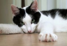 a common cow cat makes a wonderful pet and companion