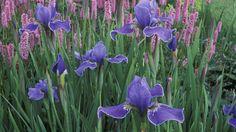 """""""Blooming Irises"""" #SunKuWriter Free Books http://sunkuwriter.com"""