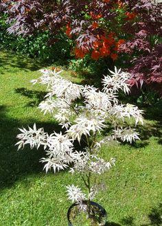 Acer Garden, Bonsai Garden, Garden Trees, Succulents Garden, Japenese Garden, Japanese Garden Plants, Potted Trees, Trees And Shrubs, Trees To Plant