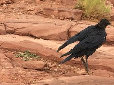 Grand Canyon West Rim, Animals, Animales, Animaux, Animal, Animais