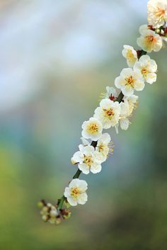One of my favorite flowers is the plum blossom, which is also the national flower of Taiwan (Republic of China). In Chinese culture, it's admired not only for it's beauty but also for it's symbolism of perseverance through adversity, since it often blooms in late winter/early spring, and is one of the only flowers able to survive the cold and snow.