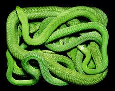 "Snakes~ Guido Mocafico's ""Serpens series"" #reptile #snake #photography   Serpens series. AMAZING! #reptile #snake #photography"