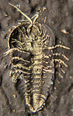 Beecher Bed Trilobite, Pyritized