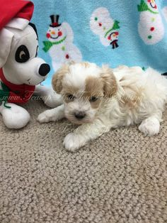 Maltipoo puppy for sale in Texas. Tiny Puppies For Sale, Maltipoo Puppies For Sale, Dogs For Sale, Cute Puppies, Toy Dog Breeds, Small Dog Breeds, Small Dogs, Cute Animals, Wildlife