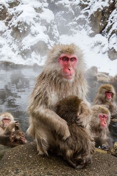 h4ilstorm:Snow Monkey II (by Umberto Marcacci)