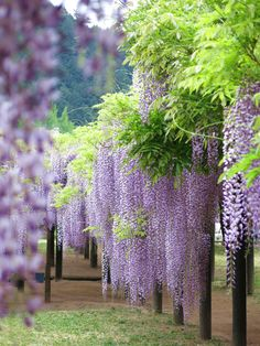 L♡vely Time - Dehily Beautiful World, Beautiful Gardens, Beautiful Flowers, Beautiful Places, Wisteria Garden, Flowery Wallpaper, Fantasy Inspiration, Fantasy Landscape, Flowering Trees