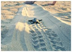 Making the way easier for the small hatchling to get to the sea. Clear my way. Topsail Beach, Turtle Love, Turquoise Water, Riviera Maya, Travel Agency, Crete, Places To See, Cool Photos, Ocean