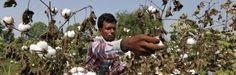 India heeft een manier gevonden om Monsanto het land uit te werken - http://www.ninefornews.nl/india-heeft-een-manier-gevonden-om-monsanto-het-land-uit-te-werken/