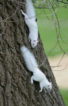 Love these two adorable albino squirrels. Not a sight you see every day.