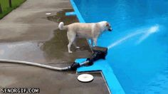 dog pool fail, Every decision the dog makes is approached with supreme caution. Funny Dog Videos, Funny Dogs, Funny Animals, Cute Animals, Cute Funny Pics, Funny Dog Pictures, Funny Stuff, Dog Fails, Cute Animal Videos