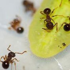 Some things are too good to be true: Lycaenid butterfly larvae manipulate ants -- ScienceDaily
