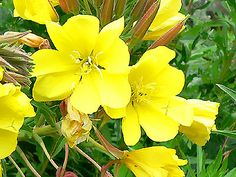 Evening primrose oil (EPO), comes from the seeds of the evening primrose plant.