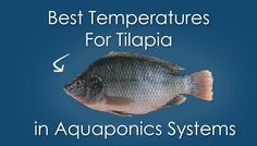 Best Temperatures for Tilapia in Aquaponics Systems