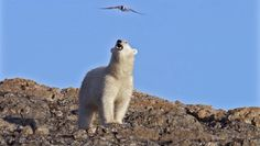 Polar bear faces aerial attack from nesting Arctic tern