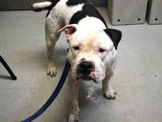PULLED BY SECOND CHANCE RESCUE - 07/26/15 -  TO BE DESTROYED - 07/22/15 - JEZZY - #A1043072 - Urgent Brooklyn - MALE WHITE AND BLACK PIT BULL MIX, 1 Yr 11 Mos - OWNER SUR - EVALUATE NO HOLD Reason PERS PROB Intake Date 07/07/15