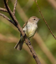 Bagageiro (Phaeomyias murina)