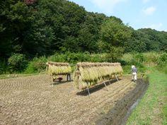 harvest time in autumn. Onoji, Machida,Tokyo  ~町田市小野路
