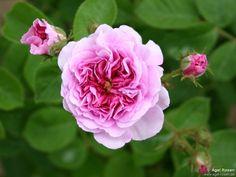 'Russeliana', 'Old Spanish Rose', before 1826