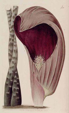 Dracontium polyphillum L. Botanical Register, v 9, t. 700 A (1823). Desenho de M. Hart