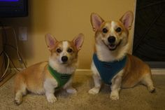 Corgnelius and little brother Stumphrey
