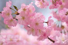 Branch Brook Park Cherry Blossom Festival 2020.51 Best Cherry Blossoms Images In 2019 Cherry Cherry