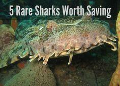 5 Rare Sharks Worth Saving - Green Global Travel