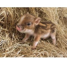 Likes, 26 Comments – The Worlds Smallest Pet Pigs (Mini Pig World) on Inst… - Cutest Baby Animals Baby Animals Pictures, Cute Animal Pictures, Animals And Pets, Baby Farm Animals, Cute Baby Pigs, Cute Piglets, Baby Piglets, Baby Chipmunk, Cute Baby Puppies