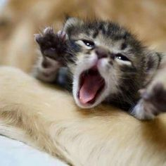 15 Adorable Roaring Kittens