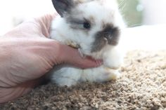 Two weeks old baby Holland Lop