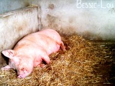 Mama pig at Middle Farm, East Sussex. Look how smiley she is!