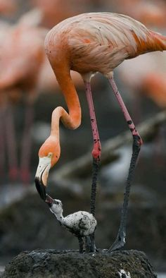 Flamant rose - Greater Flamingo - Flaminco común - Fenicottero - Rosaflamingo ( Phoenicopterus roseus ) Flamingo with nestling by ANDREY GUDKOV on National Geographic Photography, Wildlife Photography, Animal Photography, National Geographic Animals, Love Birds, Beautiful Birds, Animals Beautiful, Animals And Pets, Baby Animals