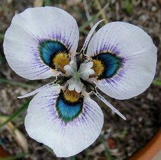 -eacock flower