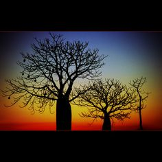 Kimberly, Australia His majesty, the Boabab Tree (by Garry -. Le Baobab, Baobab Tree, How Beautiful, Beautiful World, Acrilic Paintings, Tree Art, Western Australia, Amazing Nature, Wonders Of The World