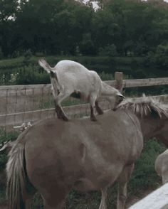 I guess you could say that this goat is not horsing around. #Gif #funny
