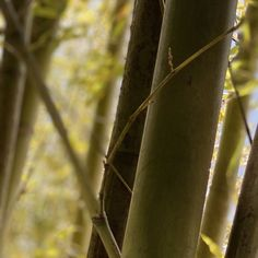 #bamboo #nature Bamboo, Nature, Plants, Flora, Plant, The Great Outdoors, Mother Nature, Planting, Scenery