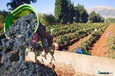 A man unloading his grape basket in the truck #Lebanon #Bekaa #Grapes