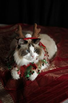 Rahni Christmas Cat For more Christmas Cats, visit https://www.facebook.com/funholidaycats