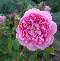 Harlow Carr ~ English Shrub Rose
