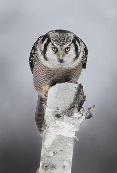 オナガフクロウ(カナダ、オタワ)