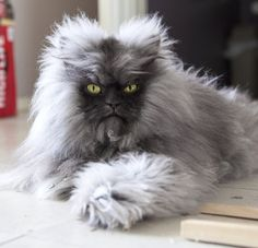 Now this is a cat I wouldn't mind. He looks like a lil werewolf.