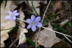 """ The little windflower, whose just opened eye is blue as the spring heaven it gazes at."" William C. Spring Is Coming, Poet, Austria, The Secret, Heaven, Celestial, Blue, Sky, Heavens"