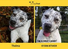"""""""Thelma is a 4 year old Dalmatian cross Staffie - a sweet girl who loves everyone she meets. Dogs Trust, 4 Year Olds, Dalmatian, Sweet Girls, Adoption, Fun, Walks, Animals, Garden"""