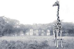 Always, Erin: Giraffe Manor, Nairobi