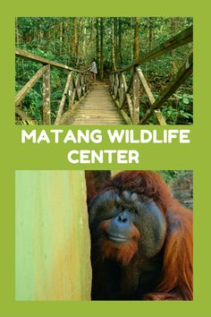 Matang Wildlife Center, based in Sarawak's Kubah National Park. Find out how you can visit this little slice peaceful paradise in Borneo and why you'll leave craving more.