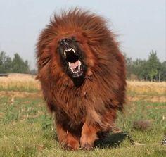 mastif Tibetan Such a cool looking dog!
