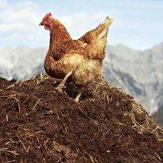 If you aren't already composting your livestock's manure for the garden or field, you're missing out!
