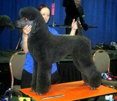 Standard Poodle in German Trim by Lisa Lewis