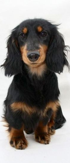 Beautiful little long haired dachshund! by noemi